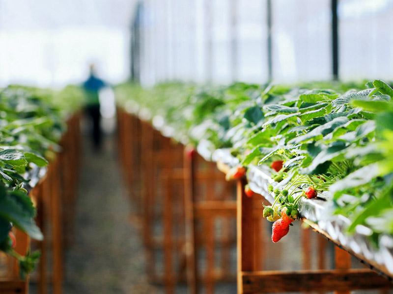 Vườn dâu treo biofresh Đà Lạt