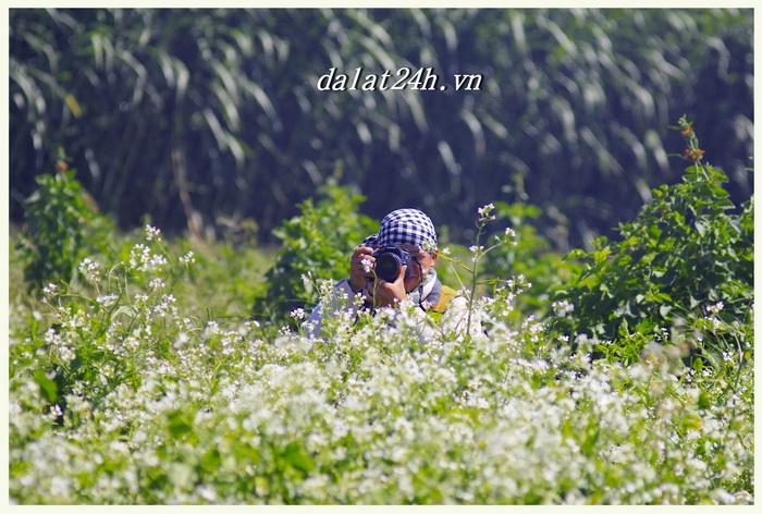 mùa hoa cải trắng đồng Đà Lạt