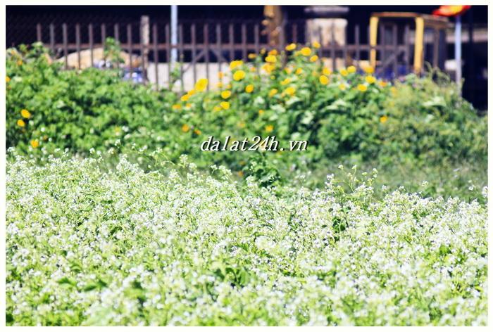 Mùa cải trắng bên hoa quỳ Đà lạt